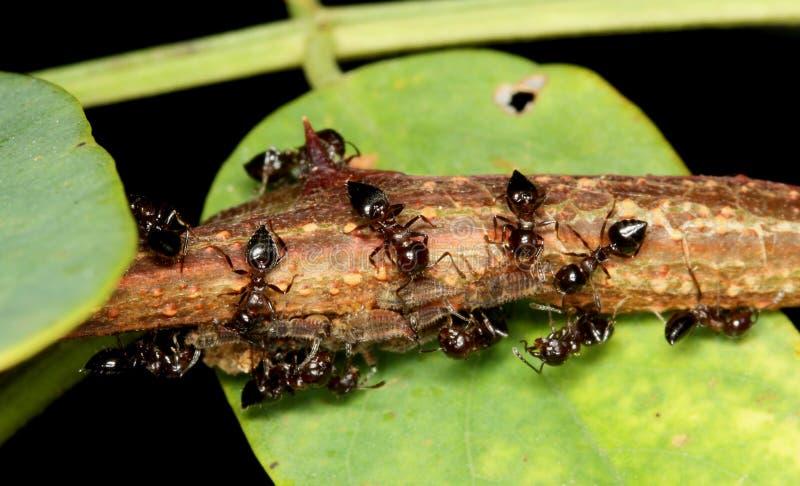 Hormigas y áfidos imágenes de archivo libres de regalías