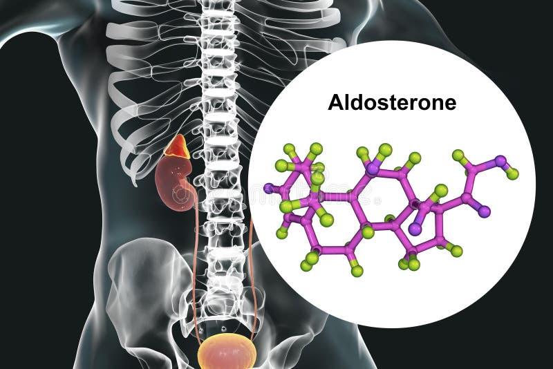 Hormona de la aldosterona producida por la glándula suprarrenal stock de ilustración