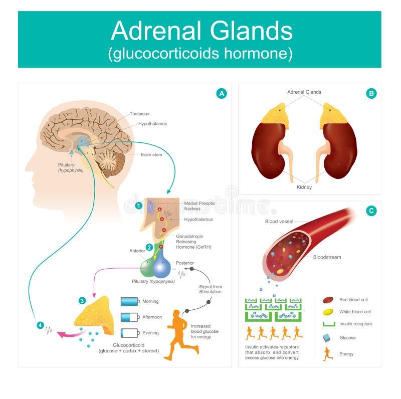 Hormona De Los Glucocorticoids De La Glándula Suprarrenal ...