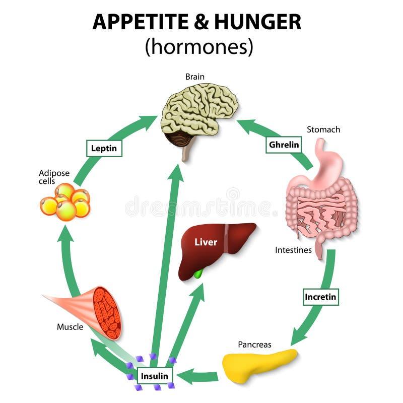 Hormonas apetito y hambre ilustración del vector
