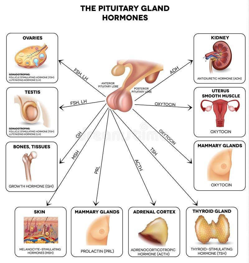 Hormonas De La Glándula Pituitaria Ilustración del Vector ...