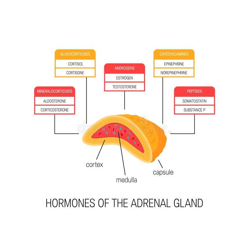 Hormonas de la glándula suprarrenal, diagrama del vector ilustración del vector