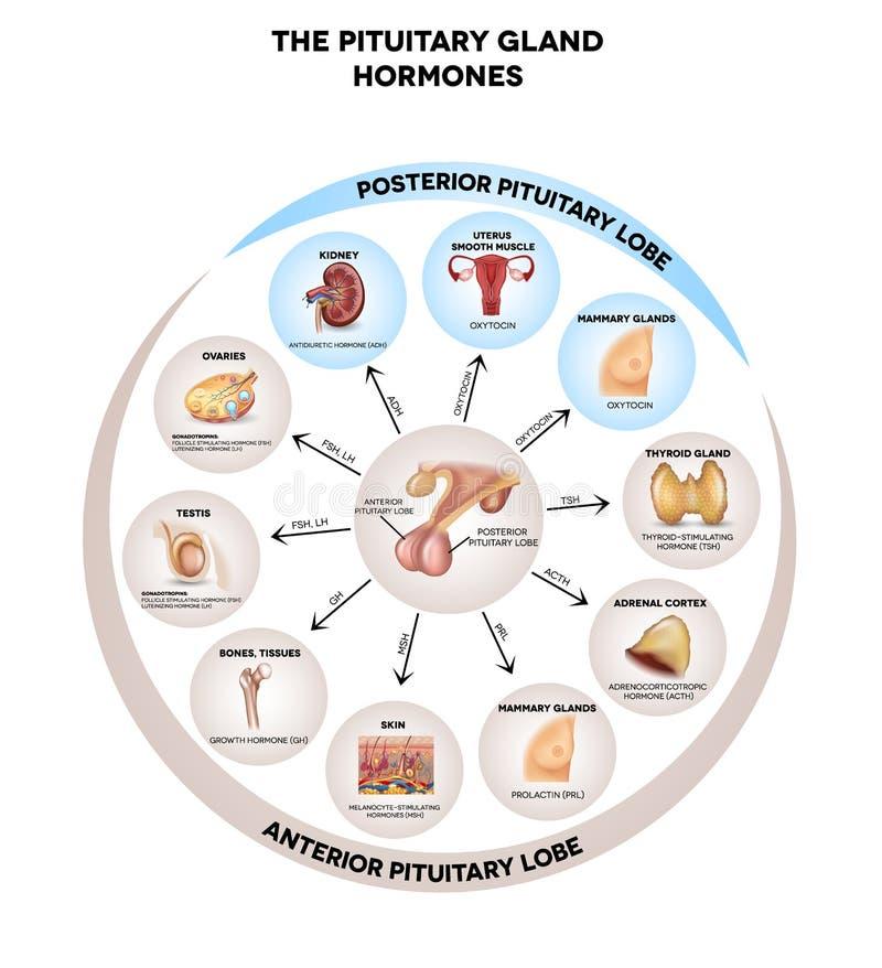 Hormonas pituitárias da glândula ilustração royalty free
