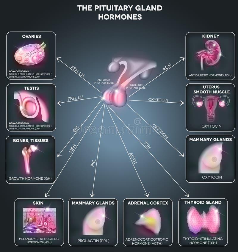 Hormonas pituitárias da glândula ilustração do vetor