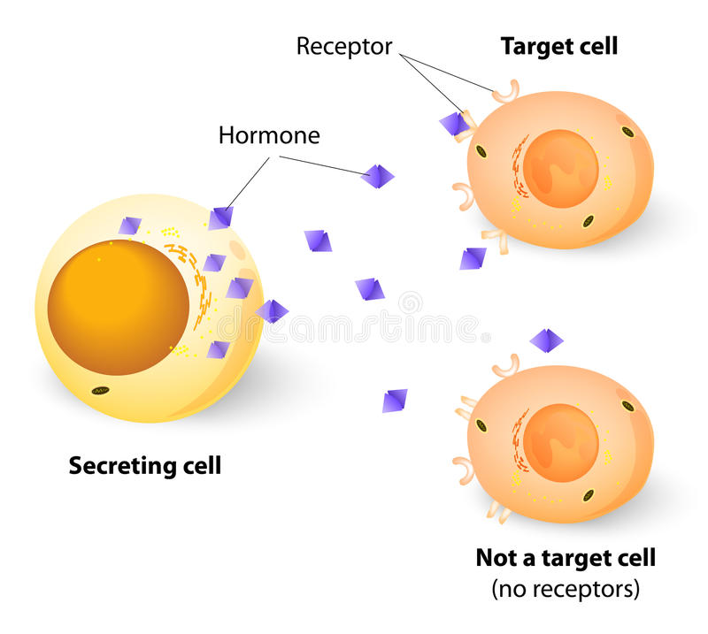 Hormonas, receptores y células de blanco stock de ilustración