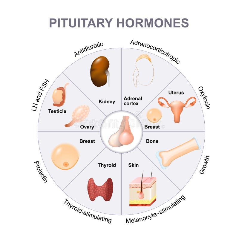 Hormonas Sumarias Secretadas De La Glándula Pituitaria Ilustración ...