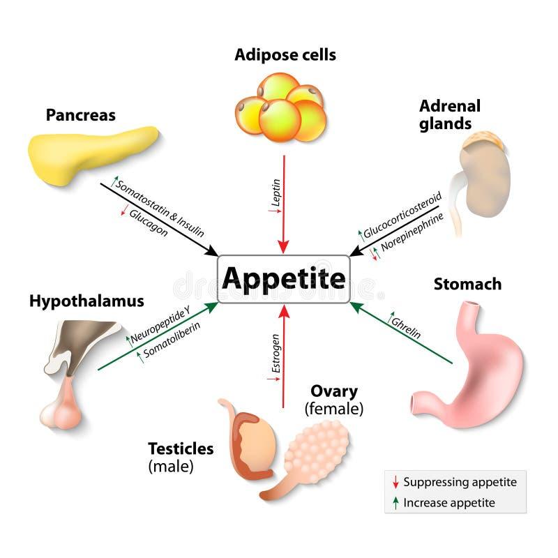 Hormone und Appetit lizenzfreie abbildung