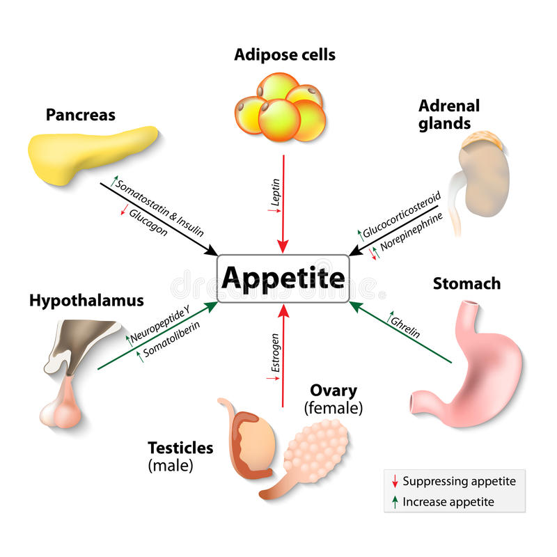 Hormones And Appetite royalty free illustration