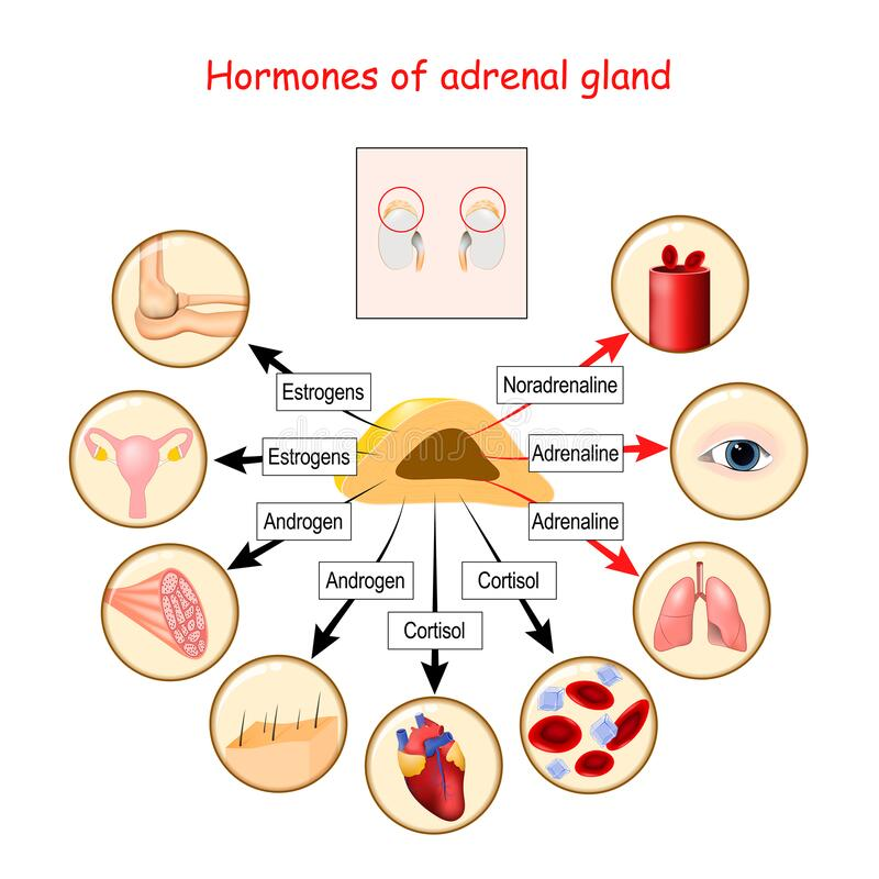 Free Hormones Of Adrenal Gland And Human Organs That Respond To Hormones Stock Images - 179448214