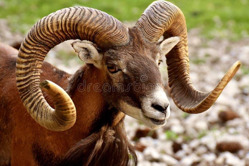 Horn, Argali, Fauna, Terrestrial Animal Free Public Domain Cc0 Image
