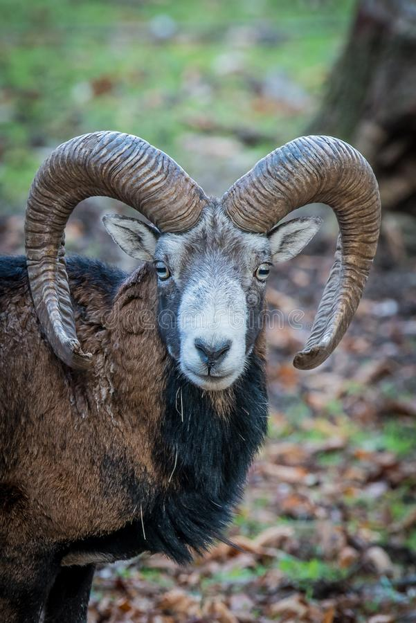 Horn, Argali, Wildlife, Fauna stock images