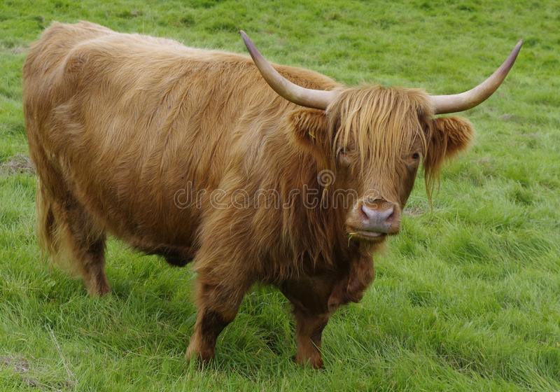 Horn, Cattle Like Mammal, Highland, Pasture royalty free stock photo