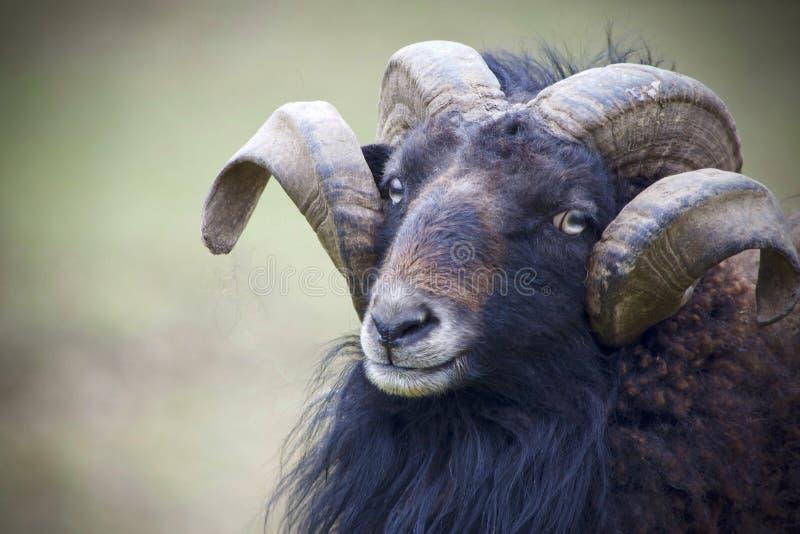 Horn, Cow Goat Family, Goats, Goat Antelope stock images