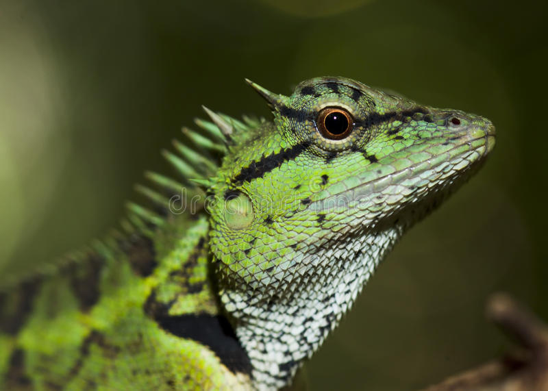 The horn lizard royalty free stock photos