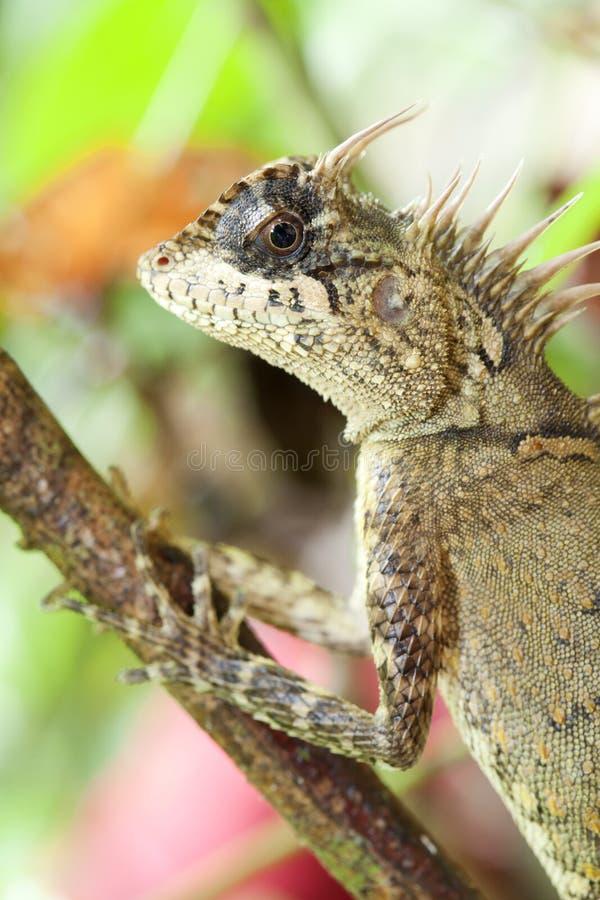 Horn lizard stock images