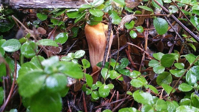 Horn mushroom stock photo