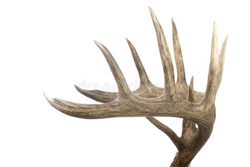 horn på kronhjort sparkar bakut den stora whitetailen för setsidosikten royaltyfri fotografi