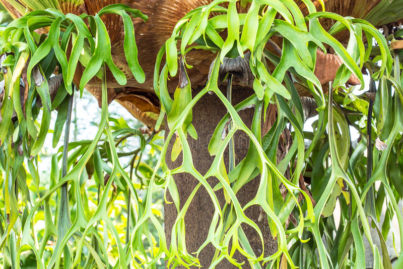 Horn på kronhjortgardinen arkivfoto