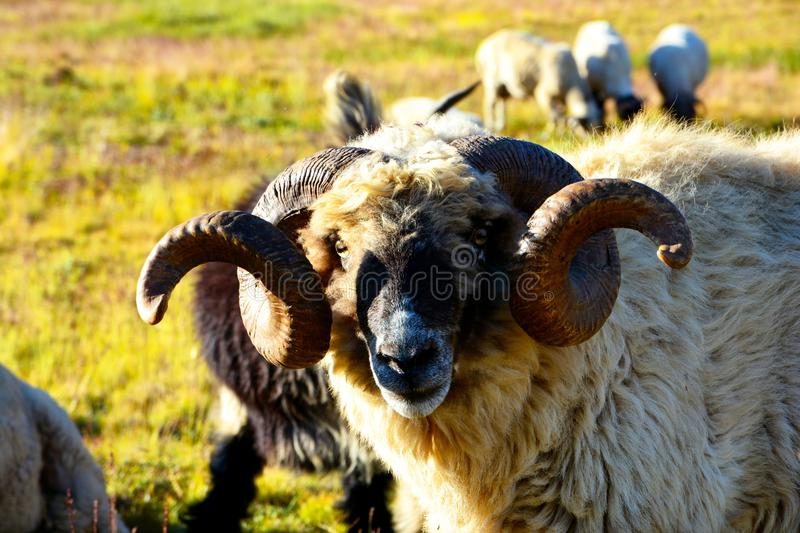 Horn, Sheep, Grass, Cow Goat Family royalty free stock image