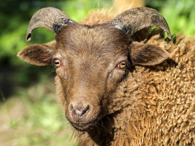 Horn, Sheep, Wildlife, Cow Goat Family royalty free stock photos