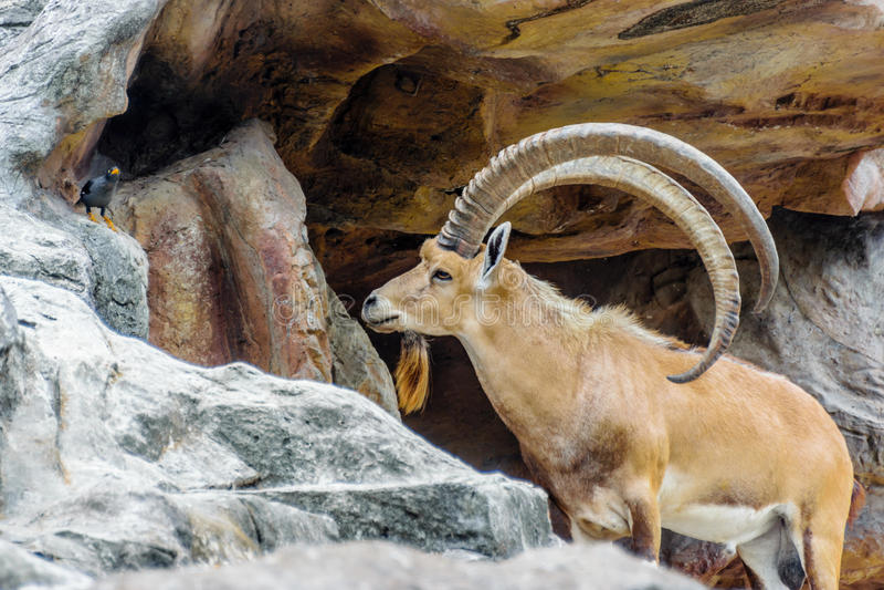 Horn. Walia Ibex, is a Ethopian animal with long horn royalty free stock photos