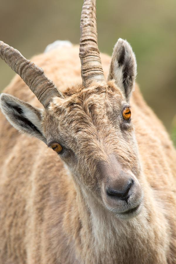 Horn, Wildlife, Barbary Sheep, Fauna royalty free stock image