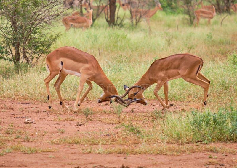 Horn zur Hornantilope lizenzfreie stockbilder