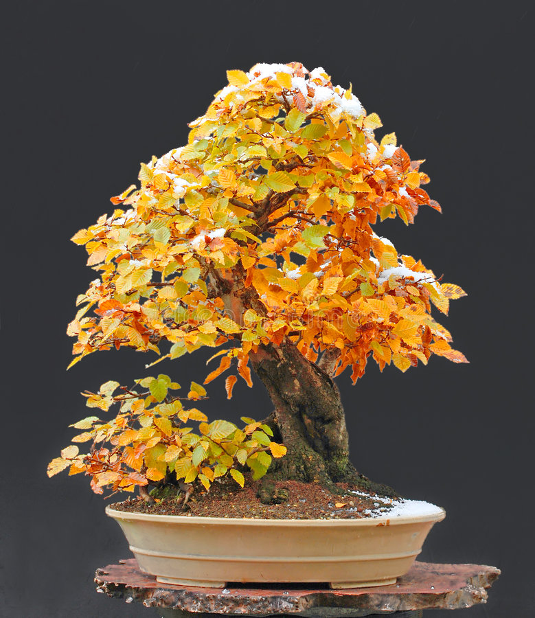 Download Hornbeam Bonsai With Snow Cap Stock Images - Image: 3459474
