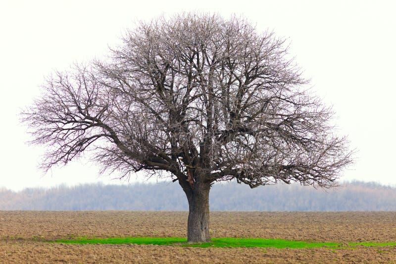 Hornbeam (Carpinus betulus) immagini stock