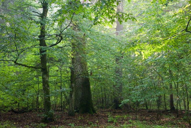 Hornbeam mim árvores de carvalho imagem de stock royalty free
