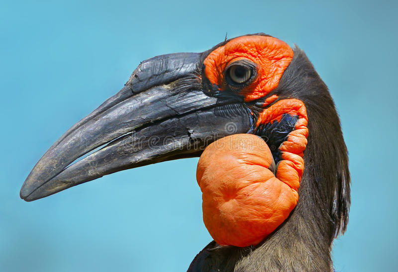 Hornbill à terra do sul fotografia de stock