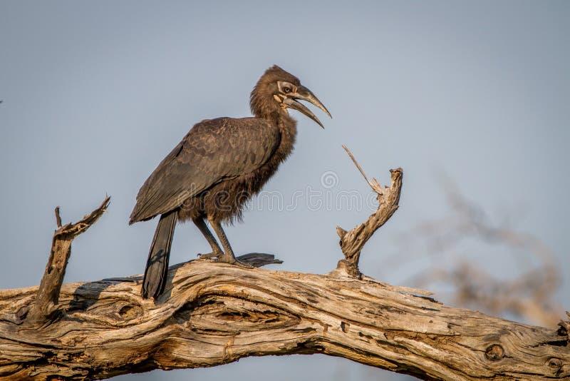 Hornbill à terra do sul juvenil em uma árvore fotos de stock royalty free