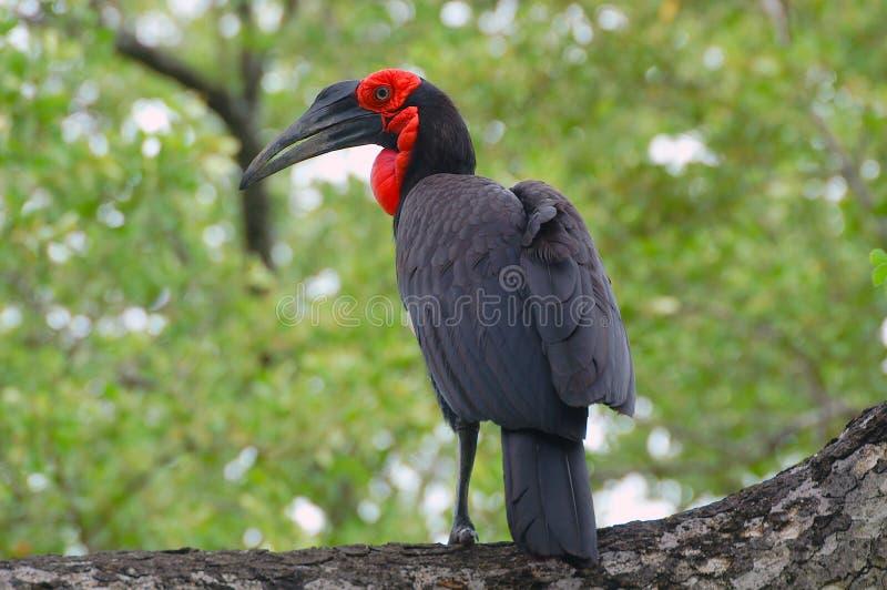 Hornbill à terra do sul (leadbeateri de Bucorvus) fotos de stock royalty free
