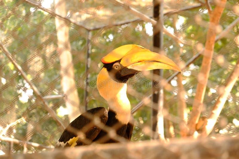 Hornbill σε ένα κλουβί στοκ εικόνα