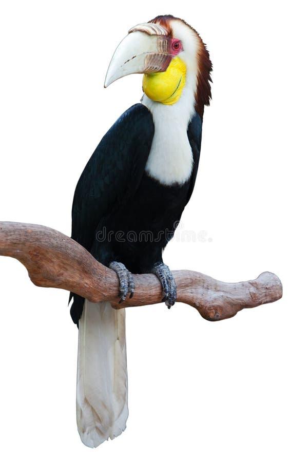 Hornbill fotos de stock royalty free