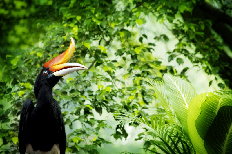 Hornbill. Borneo exoctic great hornbill in tropical rainforest, Malaysia