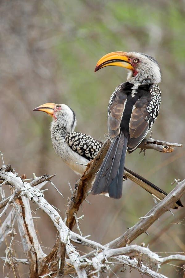 Hornbill fotografia stock