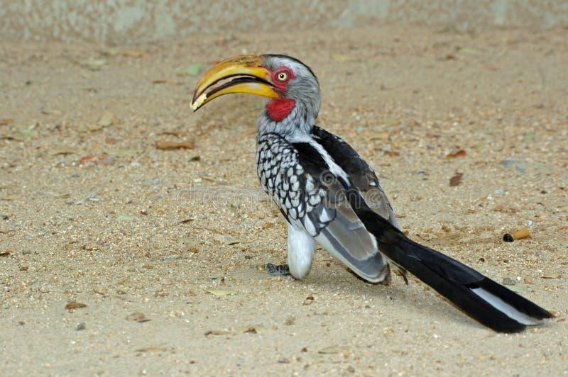 hornbill στοκ φωτογραφία