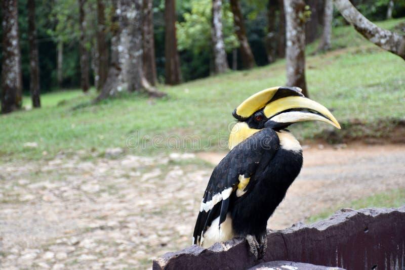 Hornbill stockbild