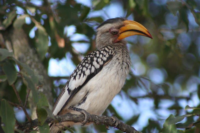 Hornbill imagen de archivo
