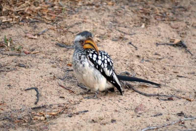 Hornbill Amarillo-cargado en cuenta meridional en Botswana imagen de archivo