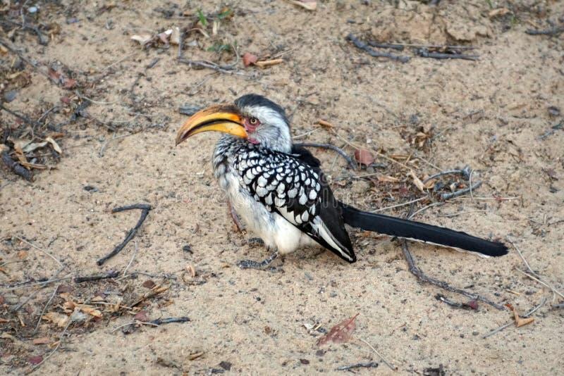 Hornbill Amarillo-cargado en cuenta meridional en Botswana fotografía de archivo