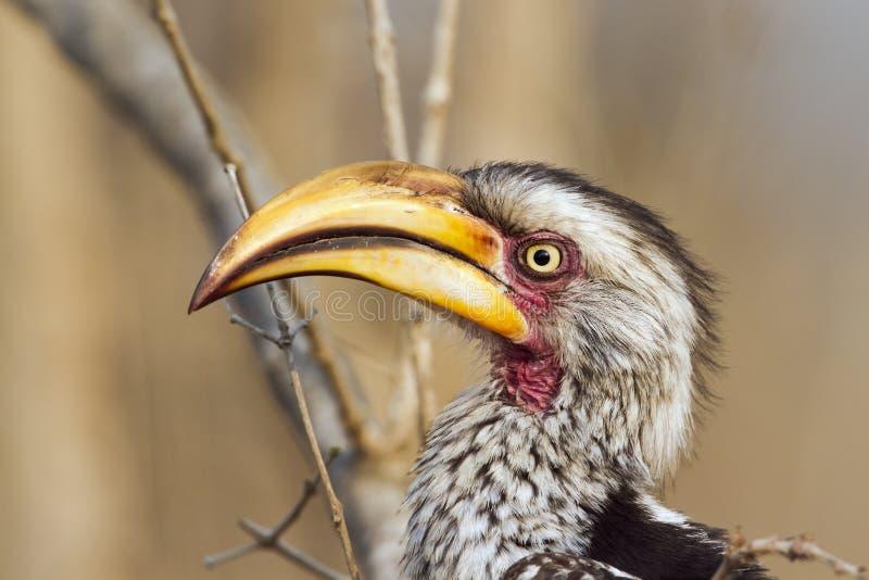 Hornbill amarillo-cargado en cuenta meridional en el parque nacional de Kruger imagenes de archivo