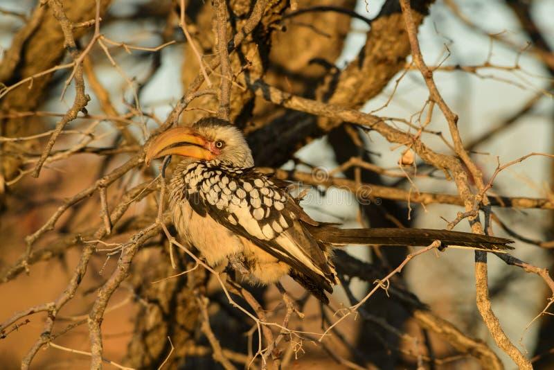Hornbill Amarillo-cargado en cuenta meridional - leucomelas de Tockus imágenes de archivo libres de regalías
