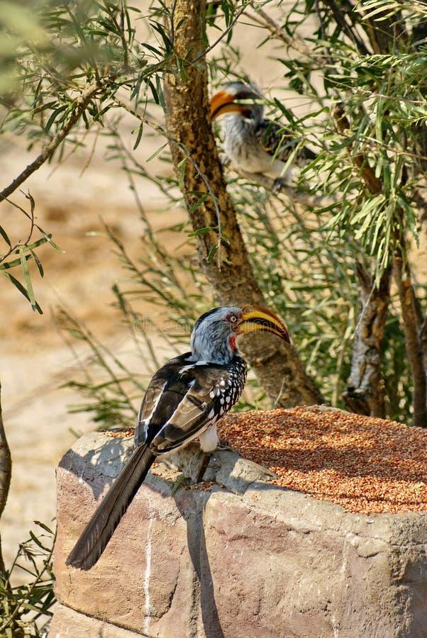 Hornbill amarillo-cargado en cuenta meridional en un alimentador imágenes de archivo libres de regalías