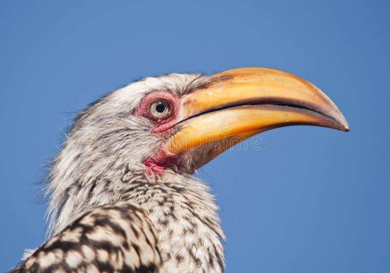 Hornbill arrogante de Yellowbill imágenes de archivo libres de regalías