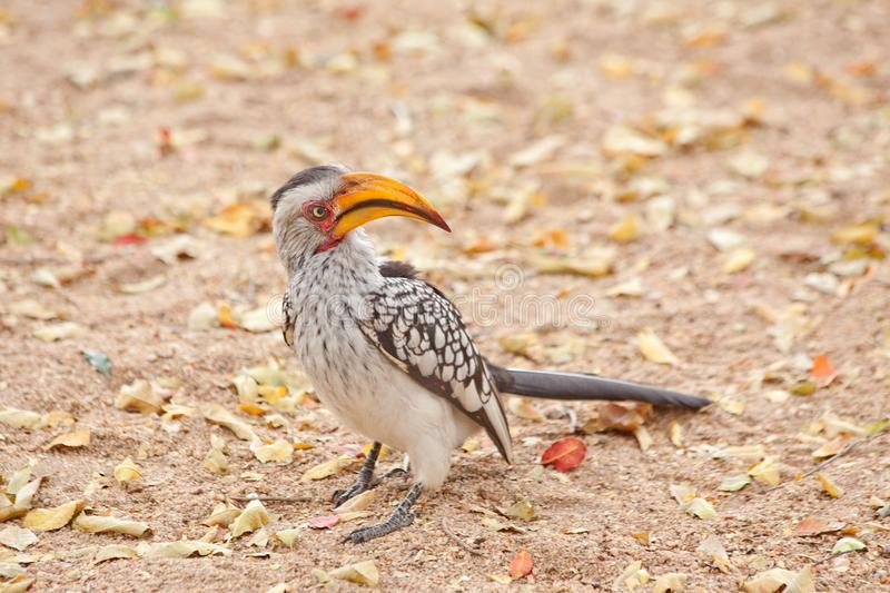 COCKY HORNBILL IN THE KRUGER NATIONAL PARK. A hornbill bird watching out for food from tourists in Kruger National Park royalty free stock photo