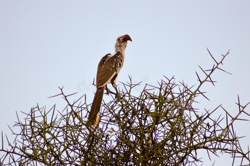 Hornbill on a branch. In Tsavo West Park in Kenya stock photography