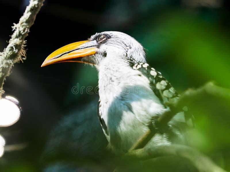 Hornbill cargado en cuenta amarillo meridional en el parque zoológico fotos de archivo libres de regalías
