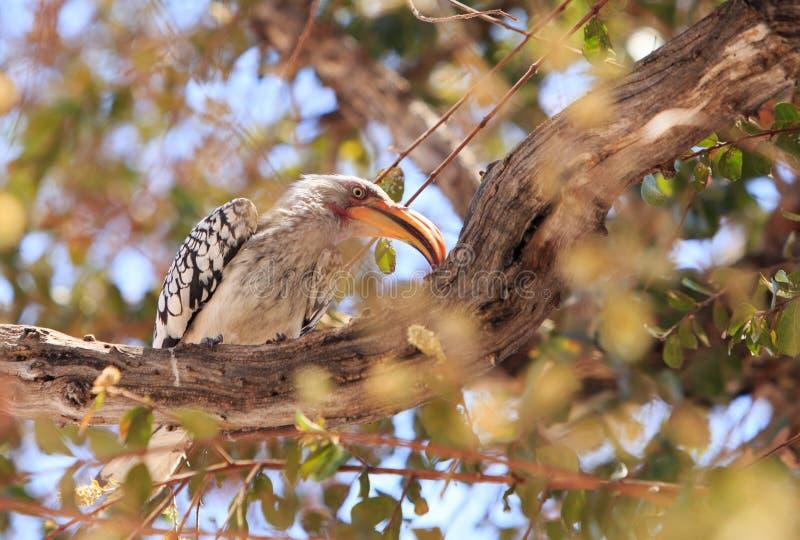 Hornbill cargado en cuenta amarillo meridional encaramado en una rama gruesa en un árbol imagenes de archivo
